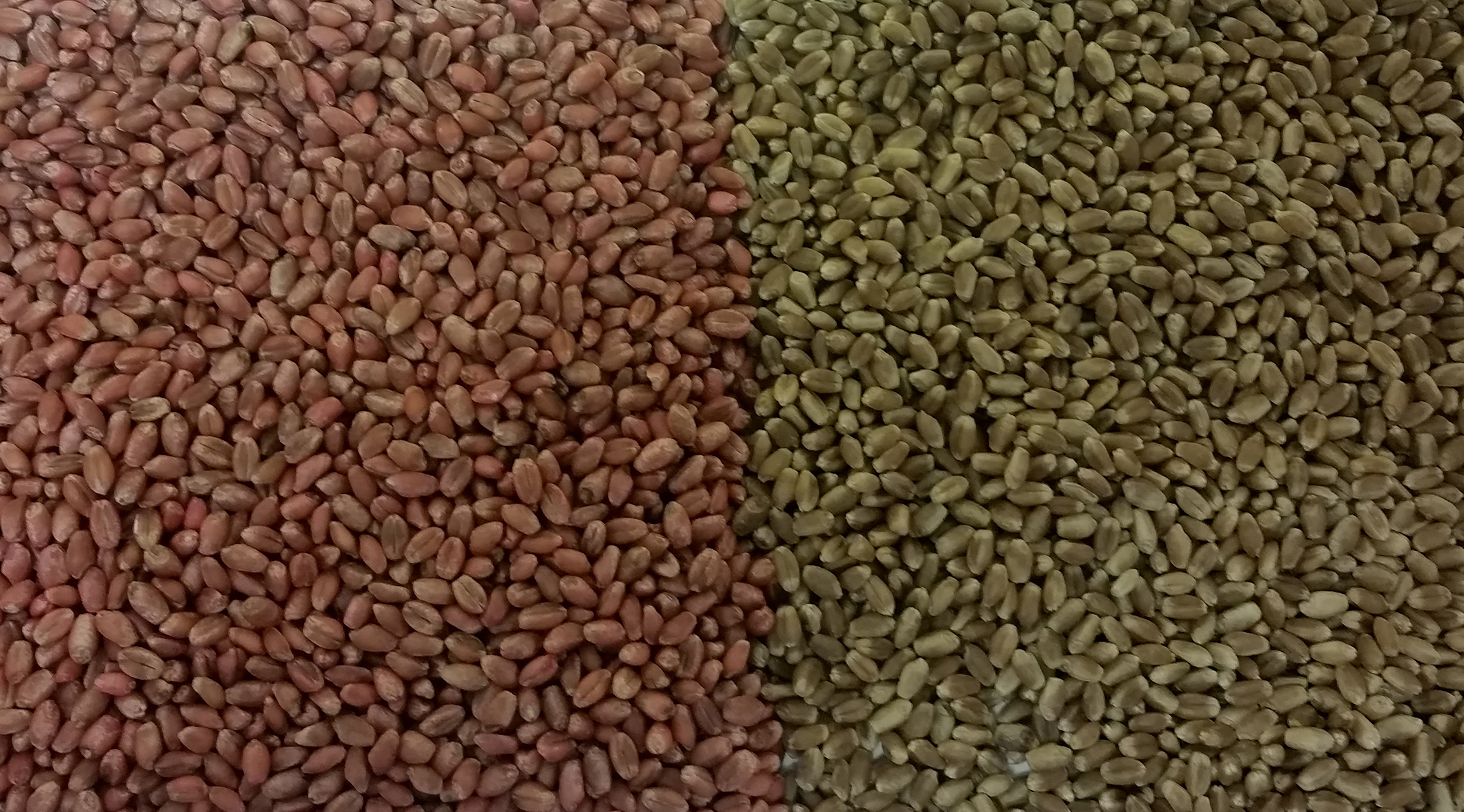 WheatSeed Resized