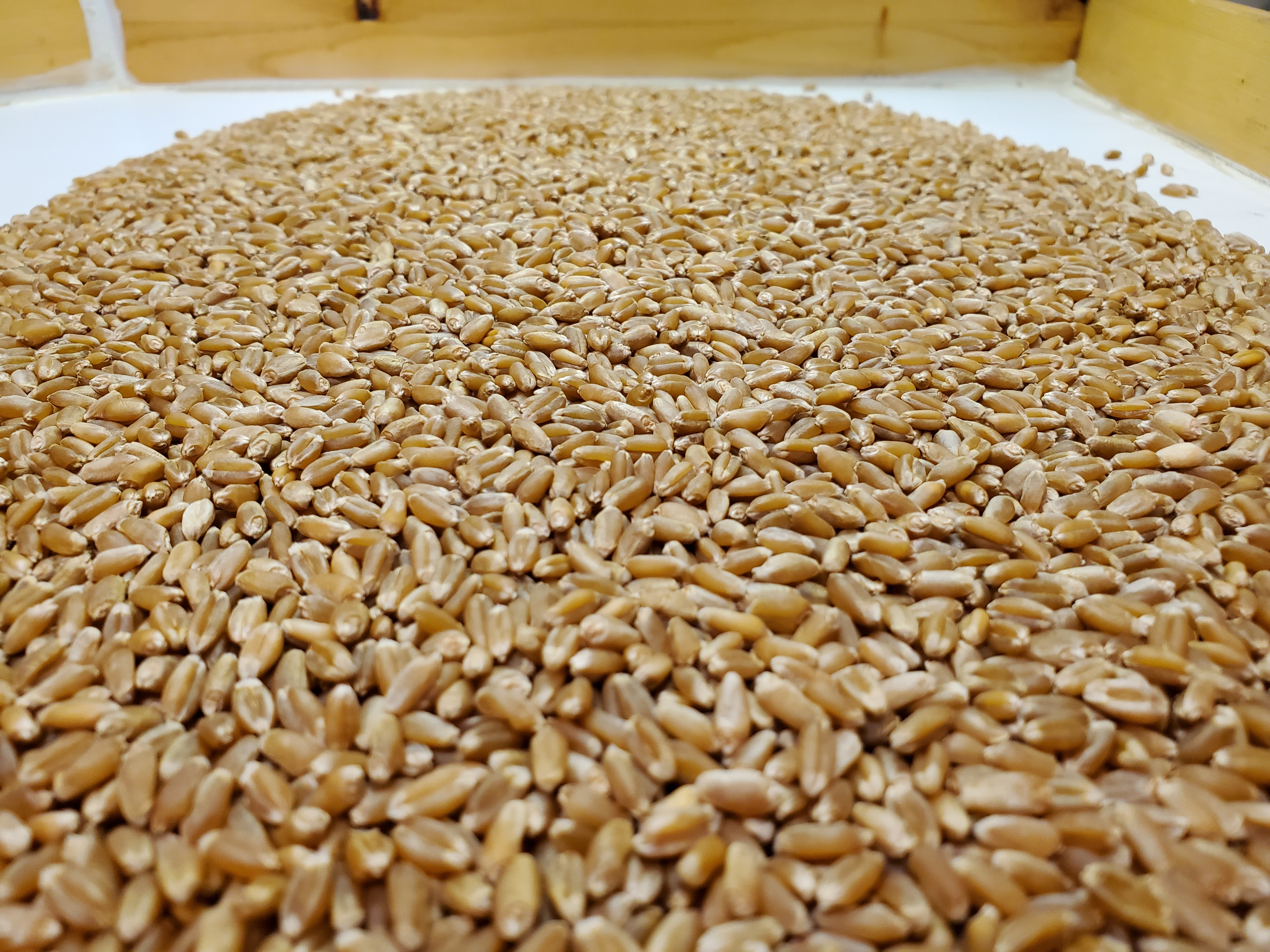 Pedigreed Winter Wheat Available Now!